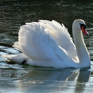 Royal Swan Upping auf der Themse