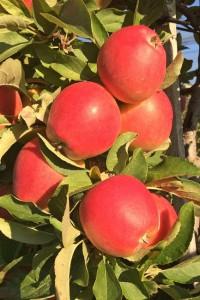 Apple_Pie_Apfel